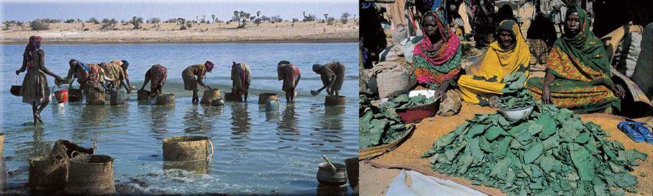 recolte Spiruline lac Tchad par les Kanembous