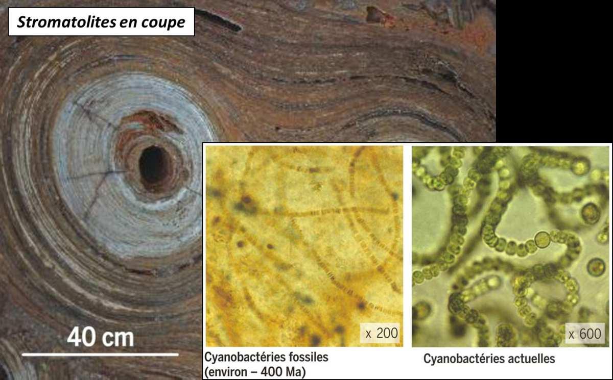 stromatolithe en coupe